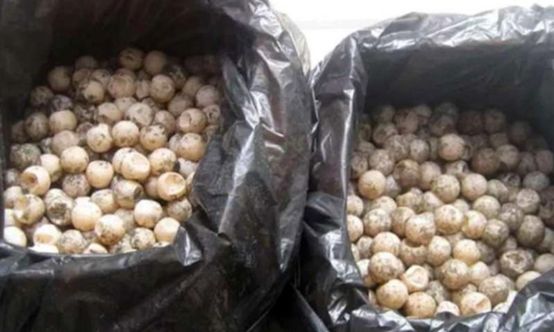 Regidor del PRI transportaba ilegalmente casi 5000 huevos de tortuga. Fueron asegurados